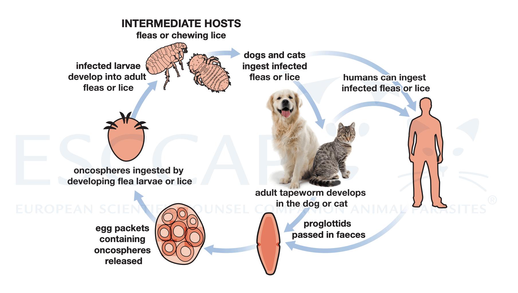 tapeworm flea lifecycle vets coalville